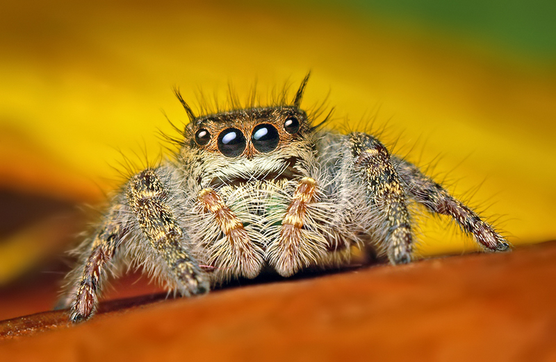 'Phidippus princeps' by Opo Terser
