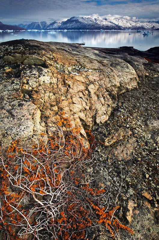 Dwarf Arctic Birch, C. Hofmann Peninusla, Greenland.  Image Copyright Joe Decker