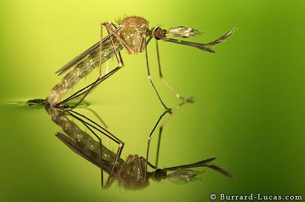 mosquito_hatching.jpg
