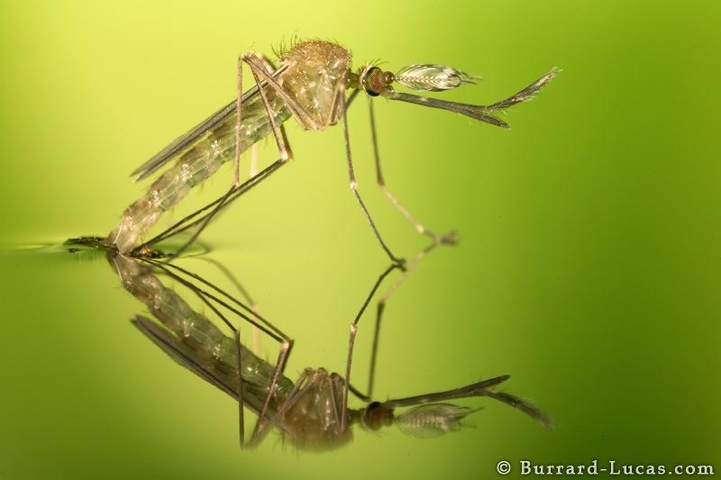 Macro Photography Mosquitoes Emerging