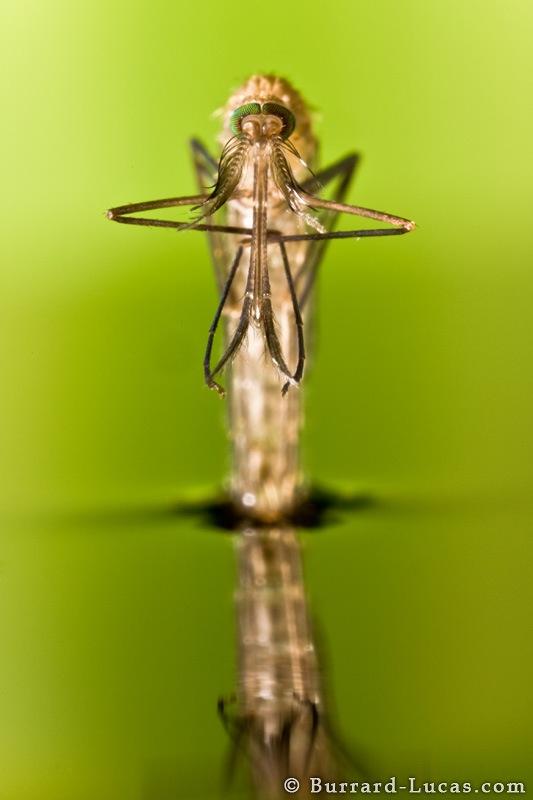 mosquito_portrait.jpg