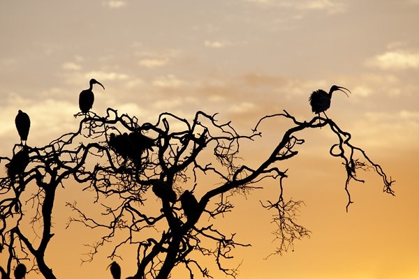 Sunrise Silhouette at Hunter Valley Wetlands, near Newcastle, NSW.