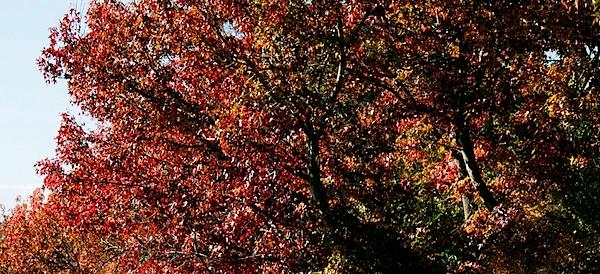 Autumn trees 2 17.5.12.jpg
