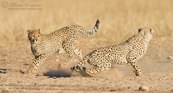 Cheetahs_Playing.jpg