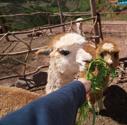 Feeding the Lama