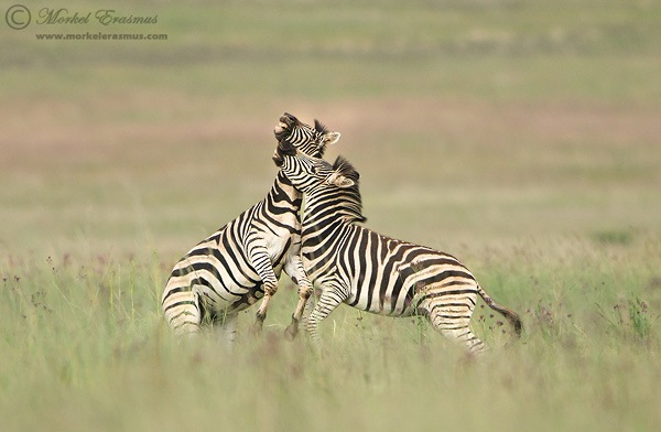 Zebra_Fight.jpg
