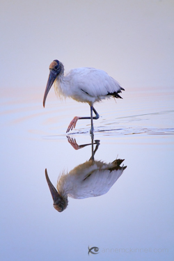 Woodstork at the Ding Darling Wildlife Refuge, Florida.