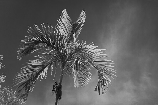 Black and White conversion of a palm tree in Lightroom