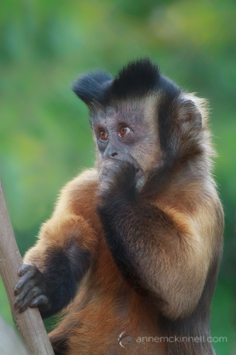 Tufted Capuchin by Anne McKinnell