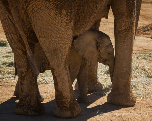 Baby Elephant by Anne McKinnell