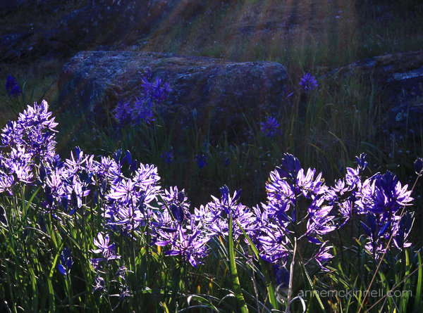 Backlit flowers by Anne McKinnell