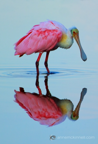 Roseate Spoonbill at the Ding Darling Wildlife Refuge, Florida, by Anne McKinnell