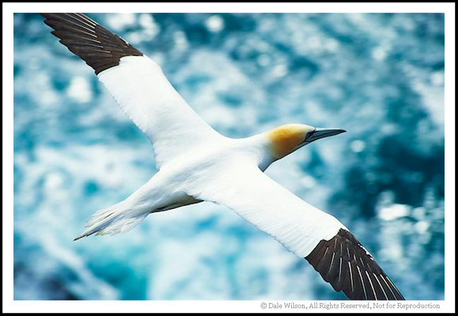 Cape St. Mary's is one of the best locations in eastern Canada to make portraits of the sleek Northern Gannet.