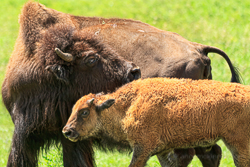 Bison mother and calf by Anne McKinnell