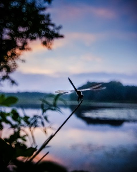 Dragonfly-Watching-Sunset-518x650
