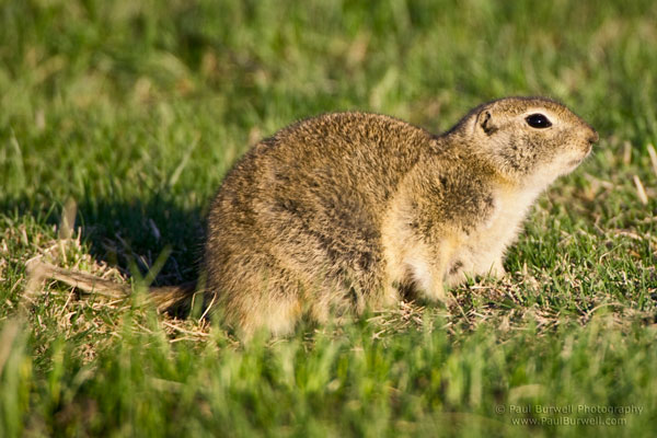 Richardson's Ground Squirrel sitting on the grass - shot from four feet height