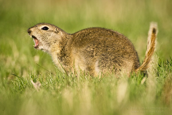 Richardson's Ground Squirrel giving a warning signal - 6 inch camera height
