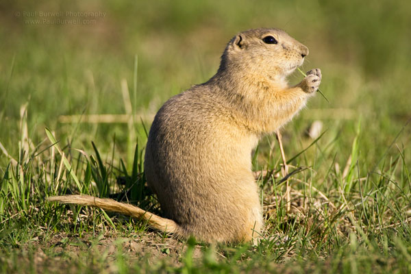 "Richardson's Ground Squirrel sitting on the grass - shot from 18"" camera height"