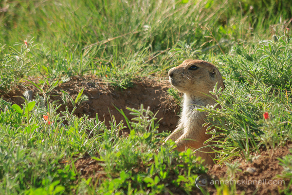 photography rut and motivation Prairie Dog, Devils Tower National Monument, Wyoming, by Anne McKinnell