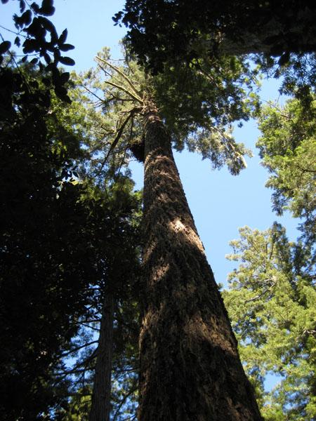 McEnaney redwood