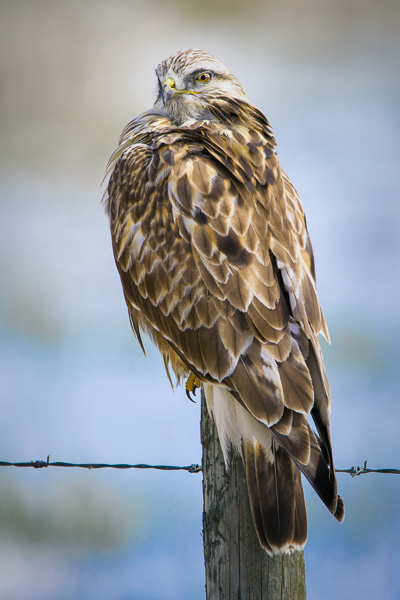 © Paul Burwell Photography - Rough-legged Hawk with the sexy over the shoulder look towards the viewer