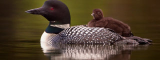 Common Loon carrying a chick on its back with both birds looking towards the viewer