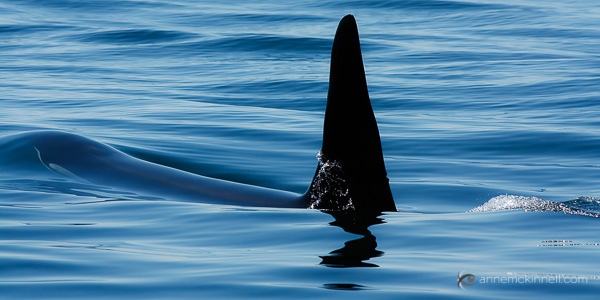 Orca by Anne McKinnell