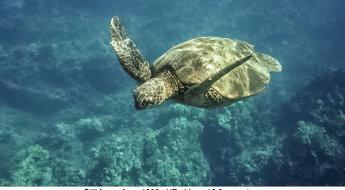 DJulian-Sea-Turtle-Makena-Maui-Video-Still.jpg