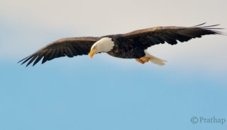 Nature-Photography-Simplified-Bird-Photography-Bald-Eagle-Flight.jpg