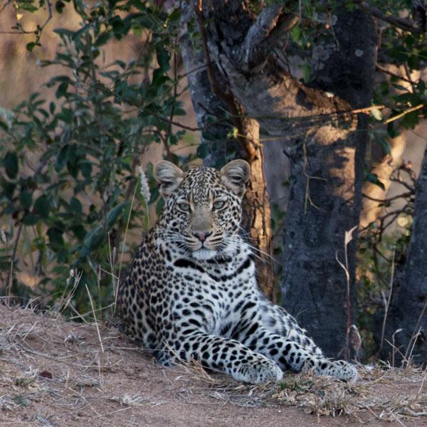 DSC 7895 leopard camo