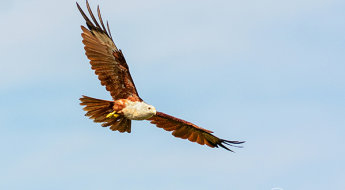 10-Nature-Photography-Simplified-Bird-Photography-Post-Processing-Tips-Brahminy-Kite-In-Flight.jpg