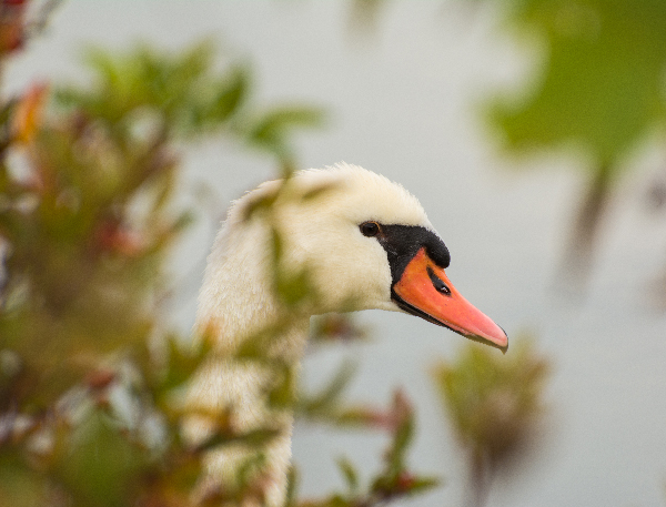 Image of a swan hiding in the tall grass captured from about 5 meters with 300 mm focal length created a DOF only about 5cm.