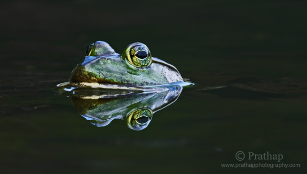 4 Perfect Reflection of Frog submerged in Water Nature Wildlife Bird Photography by Prathap