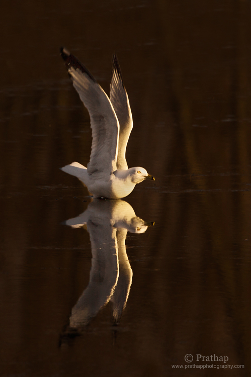 Perfect Reflection of a Seagull Taking off during  Sunset in a Lake in Grayslake, IL, US. I love the reflection in this slightly frozen lake and the white plumage of the Seagull contrasting against the dark background.