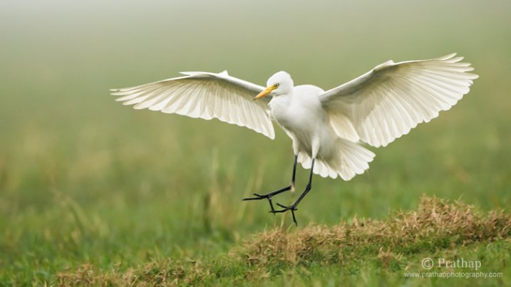 Great White Egret in Flight in Bharatpur Bird Sanctuary or Keoladeo National Park in Bharatpur, Rajastan