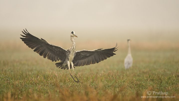 Grey Heron Landing on a Misty Morning in Bharatpur Bird Sanctuary in Bharatpur, Rajastan