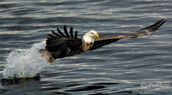 6-American-Bald-Eagle-in-Flight-Best-Tips-for-Photographing-Birds-in-Flight-Bird-Photography-by-Prathap.jpg