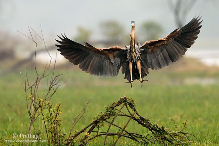 Purple Heron Landing in Bharatpur Bird Sanctuary or Keoladeo Nationa Park in Rajastan
