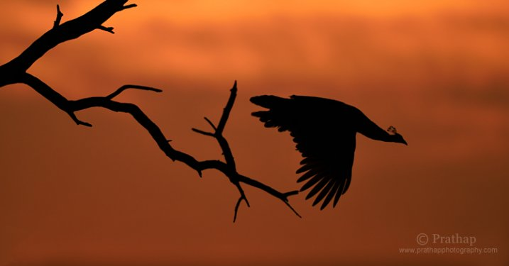 Oiseaux à Photographie Vol