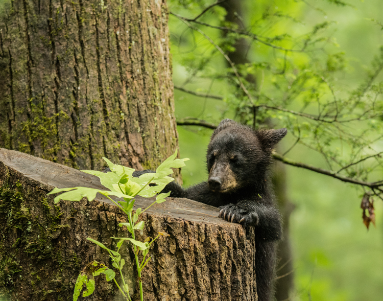 bear cub playing