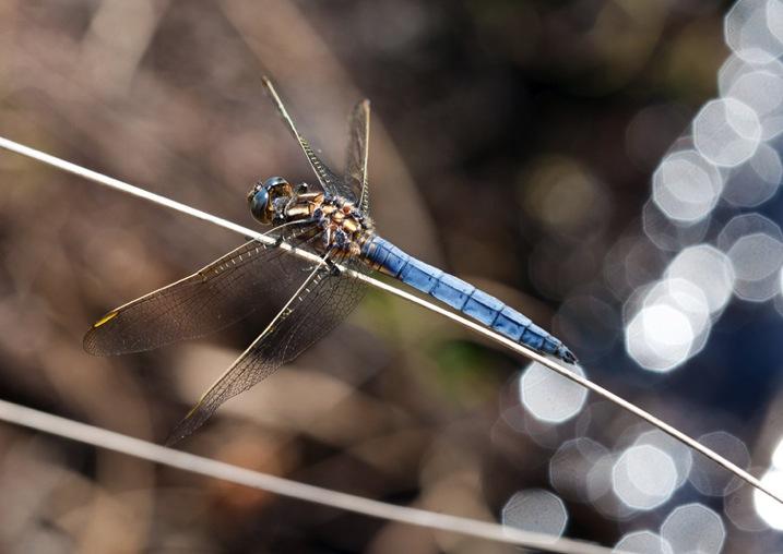 BluedragonflyDPS