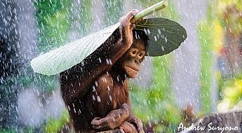 image-2-andrew-suryono-orangutan-in-the-rain.jpg