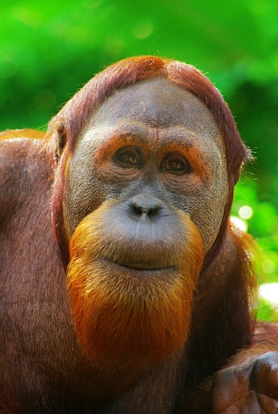 orangutan captured with a tamron 28-200 lens