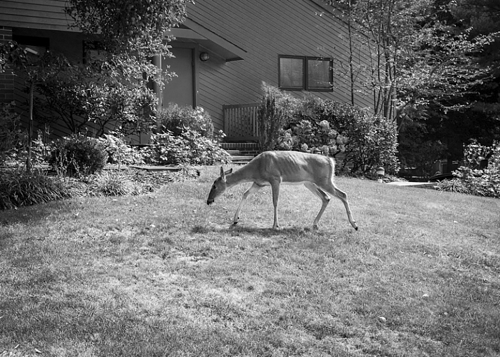 Deer, Backyard, New Jersey by Neil Persh