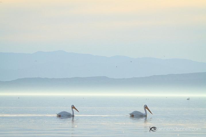 Pelicans at the Salton Sea, California