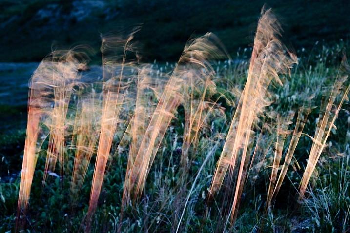 Blowing tundra grass lit by evening sun, Alaska.