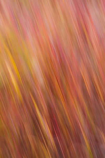 An abstract blur of Fireweed, Fairbanks, Alaska, in autumn.