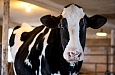 I used my camera's cross-type focusing points to make sure this picture of a holstein cow was tack sharp.