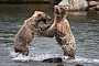 During the salmon run, the bears get close together and juveniles like these, are forced to bicker for a good fishing spot.