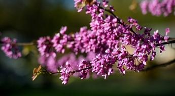 Purple-Blossoms-DPS.jpg